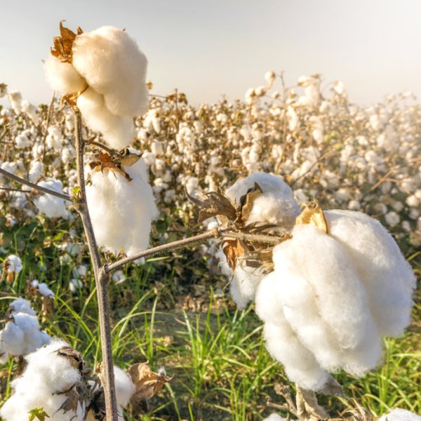 Egyptian cotton in a field