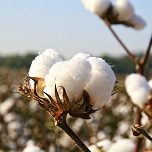 Cotton plant found in Victoria collection of luxury duvet covers